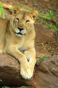 15588475 - african lion staring in nature