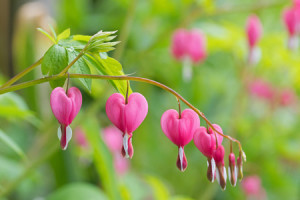 59397158 - soft focus of heart-shaped bleeding heart flower in pink and white color during summer in austria, europe. blurred garden background.